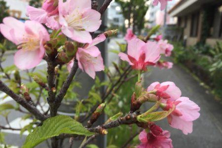 石垣牛と桜。